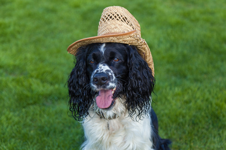 the dog of breed Cocker Spaniel sits in a straw hat, blackly white Cocker Spaniel