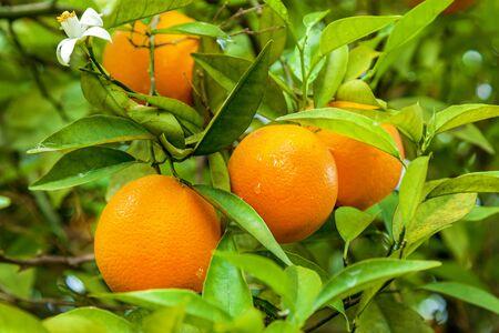 Foto per Orange garden with rows of orange trees, harvest of sweet juicy oranges - Immagine Royalty Free