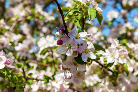 Photo pour Apple blossom in spring. Blossom apple over nature background, spring flowers - image libre de droit
