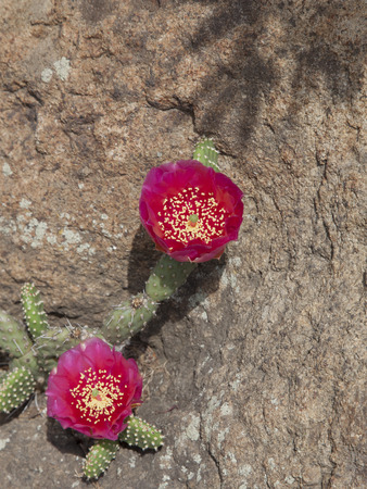 Large amazing pink cactus flower growing in a crevice of the stone. Cactus growing in the open field at the latitude of Kiev, Ukraine.