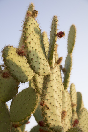 Cactus opuntia fruits on a background of blue sky. The sun is close to the sunset.