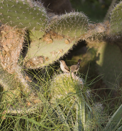 Birds on Cactus opuntia.