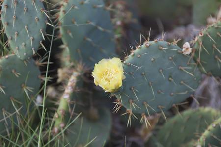Cactus opuntia yellow flower.