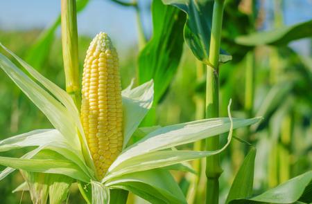Foto für Ear of corn in a corn field in summer before harvest. - Lizenzfreies Bild