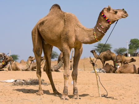 Camel at the Pushkar Fair ( Pushkar Camel Mela ) Rajasthan, India