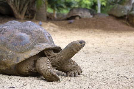 Photo pour Giant turtles, dipsochelys gigantea in tropical island Mauritius , Close up - image libre de droit
