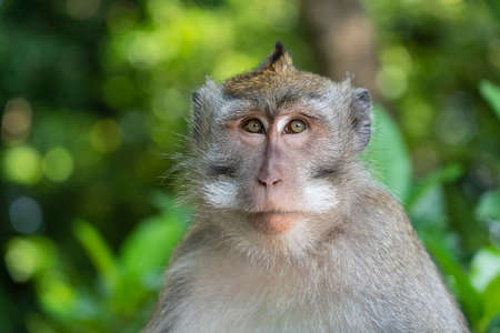 Photo pour Wild monkey family at sacred monkey forest in Ubud, island Bali, Indonesia. Monkey forest park travel landmark and tourist destination site in Asia where monkeys live in a wildlife environment - image libre de droit