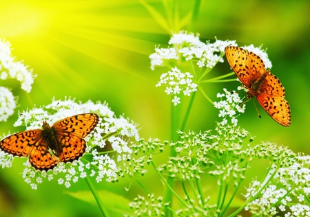Photo for two Butterflies drink nectar in the flowers   - Royalty Free Image