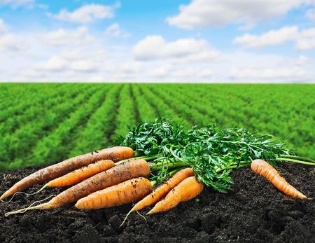Foto für Harvest carrots on the ground on the carrot field - Lizenzfreies Bild