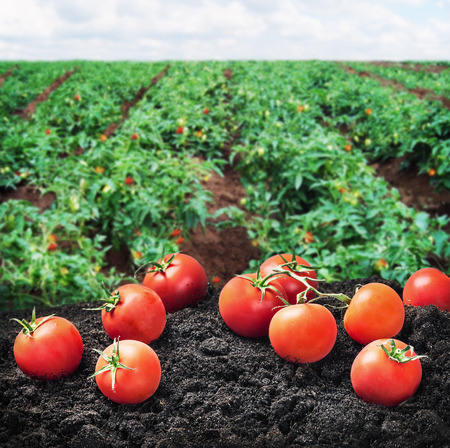 harvest of ripe red tomato on the ground on the Field. Focus on the tomato in the foreground