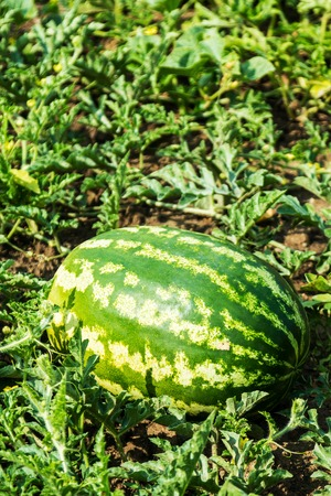 Photo for harvest of ripe watermelons on the melon on a summer day - Royalty Free Image