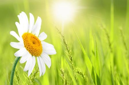 Daisy, Single Flower, Flower.