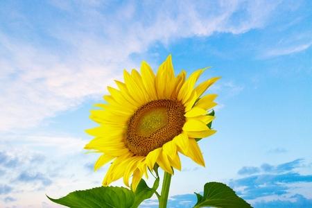 Foto de Sunflower, Sun, Single Flower. - Imagen libre de derechos