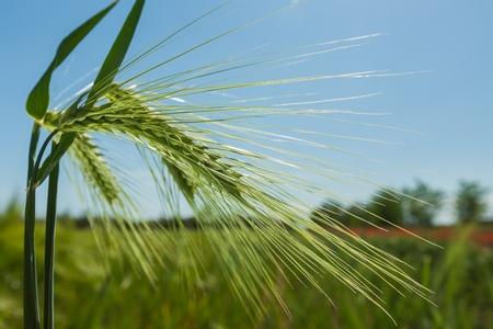 A Green Barley / Wheat Plant Against Green Field