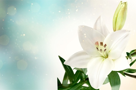 Photo for Lily flower on the dark background - Royalty Free Image