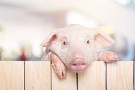Photo pour Pig Hanging from a Wooden Fence - image libre de droit