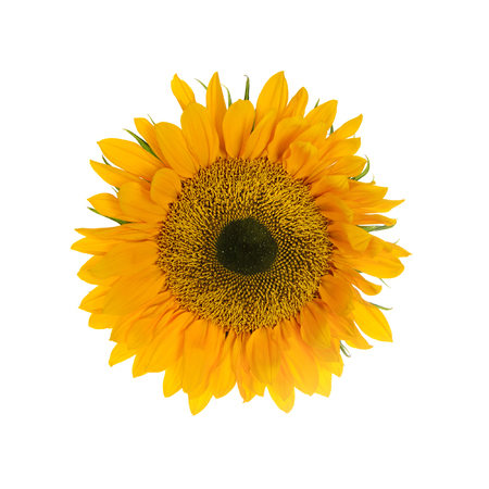 Sunflower. Yelllow Flowers. Isolated on White Background