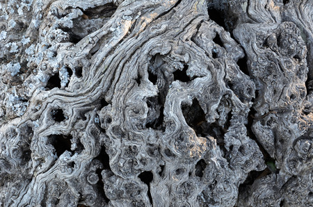 Close-up of the grey dried wooden roots with cracks, holes