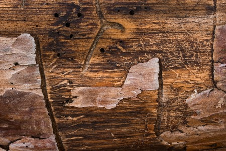 mysterious pine trunk texture with partially peeled bark and fantastic patterns grunge background for design