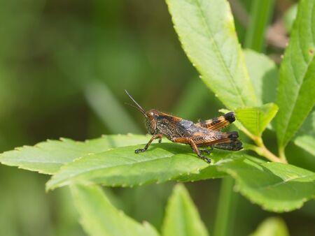 Motley grasshopper among green leaves of a grass