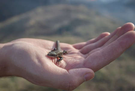 Foto für A lizard in the hands of a man. A small reptile sits on the hands of a man. - Lizenzfreies Bild