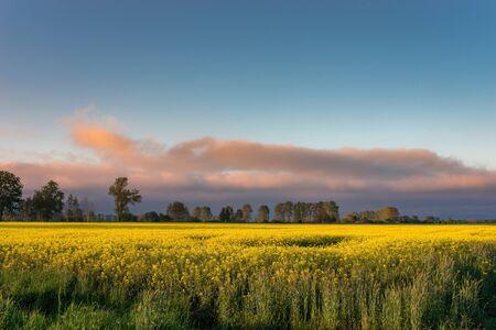 Photo pour Rural view of the rapeseed field - image libre de droit