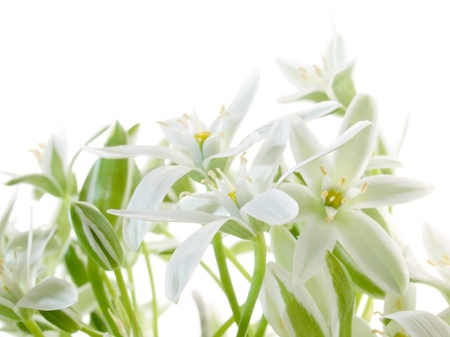White flowers isolated on white background.