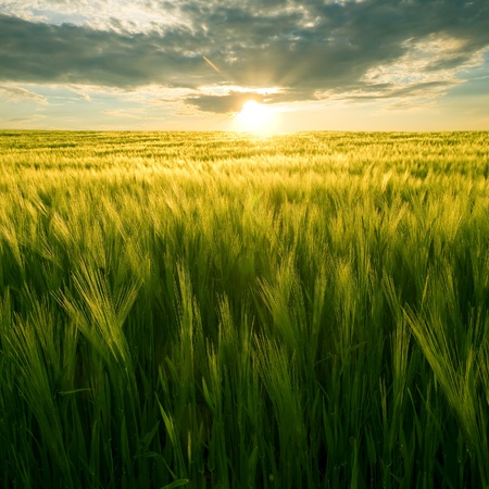 Sun over green wheat field.