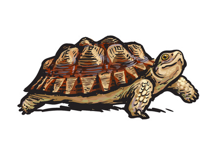 Illustration pour African Spurred Tortoise.Cheerful turtle walking. Realistic hand drawn vector illustration. - image libre de droit