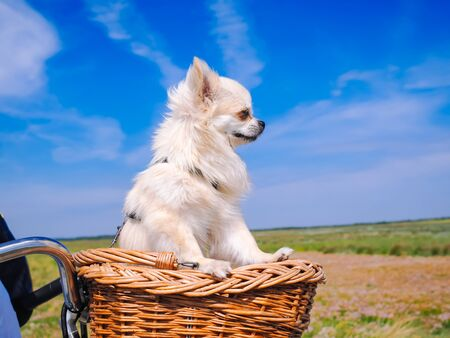 Photo pour Little Chihuahua dog riding on bike basket. Puppy traveling with people on the road in the dune area of Schiermonnikoog island in Netherlands. Active family sport. Summer travel and vacation concept. - image libre de droit
