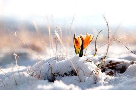 Foto de yellow snowdrop in high mountain valley, super macro - Imagen libre de derechos