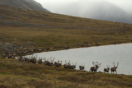 Herd of deer on the lake. Ridge Cherskogo. Lake Tobandya. Yakutia. Russia.