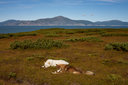 Two dogs lying in the open. The view of the sea. The sea of Okhotsk, Koni Peninsula, Magadan region.