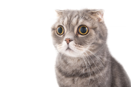 Photo for Portrait of a surprised cat breed Scottish Fold. Studio photography on a white background. - Royalty Free Image