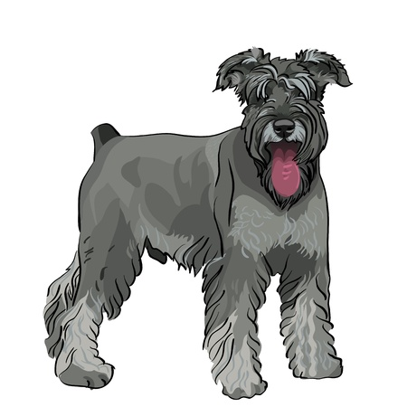 dog breed Miniature Schnauzer color pepper and salt