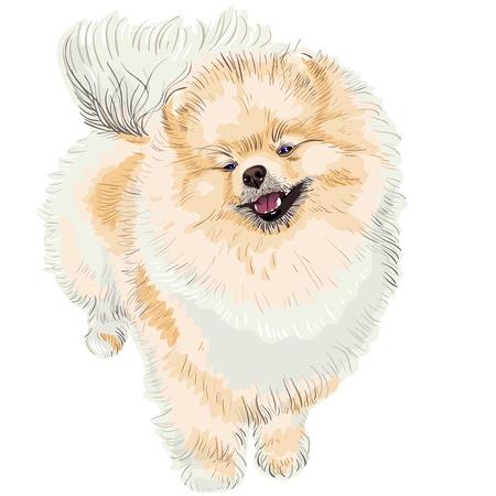 pedigreed dog German Toy Pomeranian is looking up, smiling