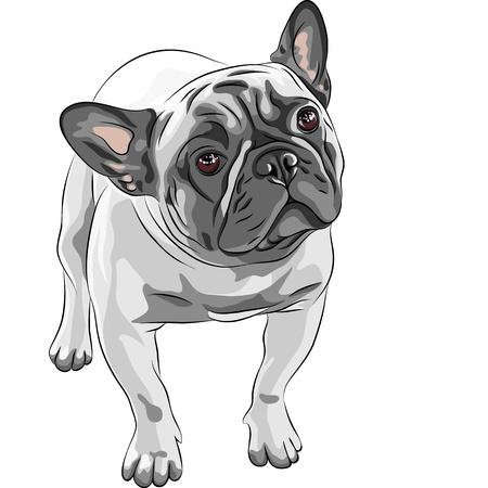 closeup portrait of the domestic dog Fawn French Bulldog breed