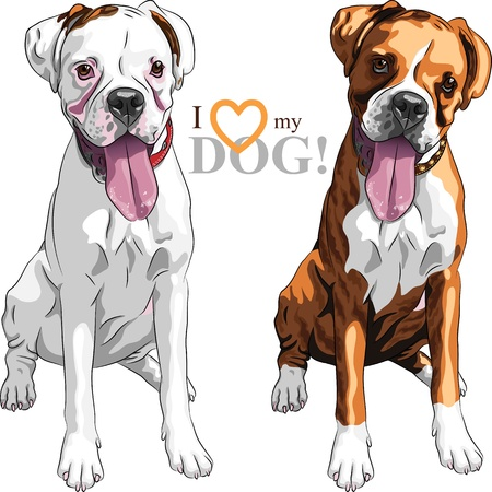 closeup portrait of the pair of domestic dogs Boxer breed white and brindle