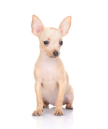 Photo for puppy of the toy Terrier on a white background - Royalty Free Image