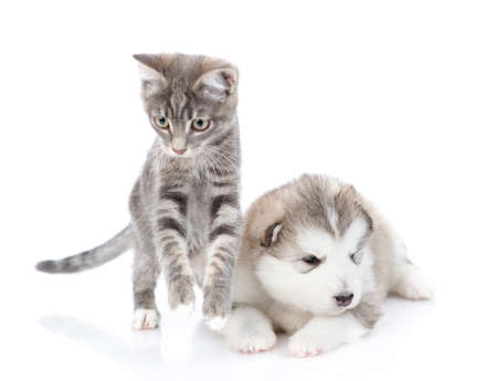 Photo pour Striped kitten is jumping next to a malamute puppy. They look at the camera. Isolated on a white background - image libre de droit
