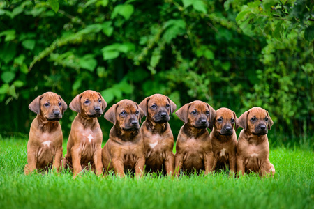 Litter of seven adorable 1,5-month-old Rhodesian Ridgeback puppies sitting in a row on the green grass