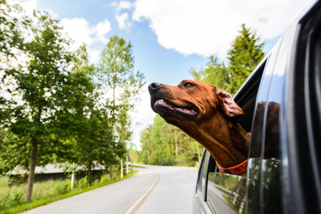 Photo for Ridgeback dog enjoying ride in car looking out of window - Royalty Free Image