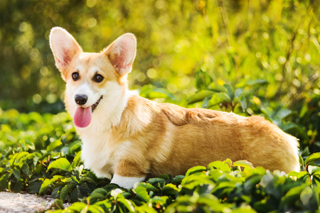 Photo pour Funny Welsh Corgi Pembroke standing in grass - image libre de droit