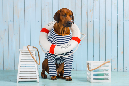 Photo for Rhodesian Ridgeback dog-sailor with lifebuoy around its neck - Royalty Free Image