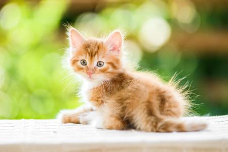 Photo pour Portrait of adorable playful red orange fluffy kitten on sunny summer nature background - image libre de droit