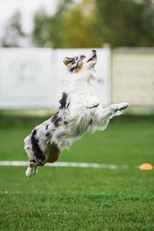 Photo pour excited australian shepherd jumping high catching flying disk, open mouth, summer outdoors dog sport competition - image libre de droit