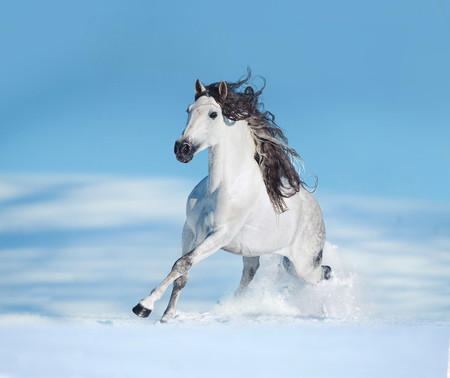 White andalusian horse runs free on winter hill