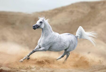 Photo pour arabian horse running in desert - image libre de droit