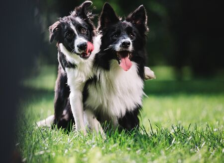 Photo pour Two beautiful dogs of black and white color play on the green field. They sit and hug each other. One of them is a puppy. Border collie breed. - image libre de droit
