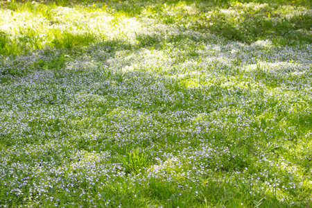 Photo pour Field meadow of blooming Myosotis forget-me-nots, background wallpaper. Green meadow with blooming small blue flowers Forget-me-not, beautiful flower meadow in the wild - image libre de droit